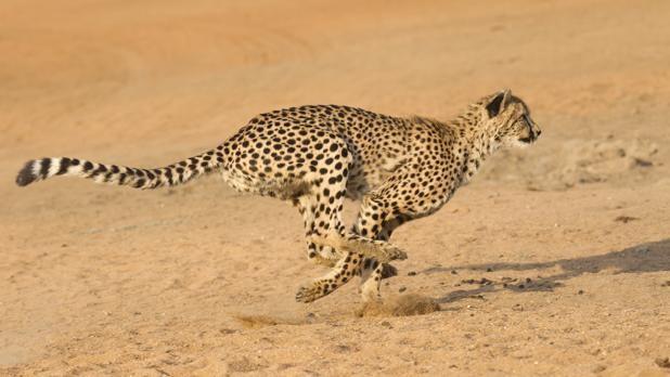 La estrategia para escapar del animal más veloz del mundo